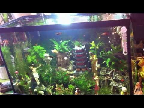 The platy, molly, angelfish and pleco of my home are religious believers -- 心经