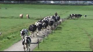 Koeien halen te paard