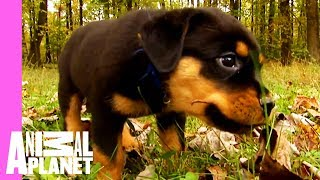 Bear The Rottweiler Breaks Away From The Pack | Too Cute!