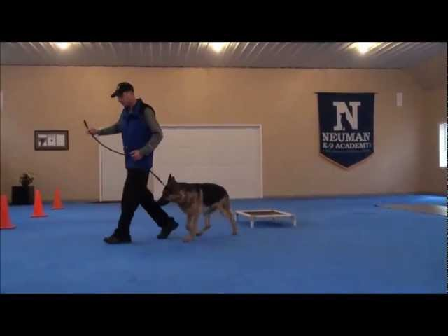 Nico (German Shepherd) Dog Training Boot Camp Video