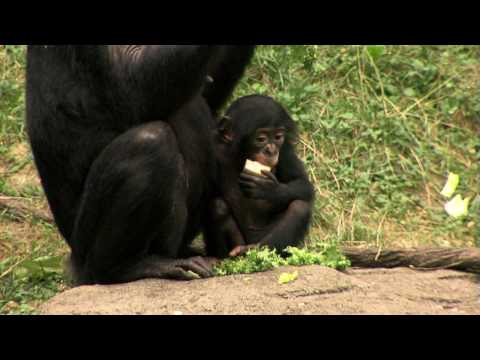 Bonobo Family Outside 1st Time-Cincinnati Zoo