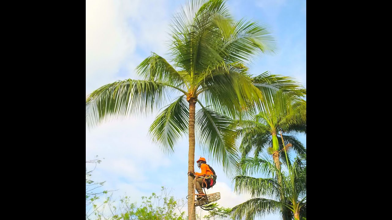 Coconut tree pictures