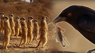 Drongo Bird Tricks Meerkats | Africa | BBC Earth