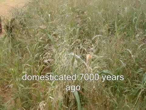 India-Forgotten foodgrain- Proso millet