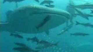 レッドロック(シャークアイランド)のジンベエザメ