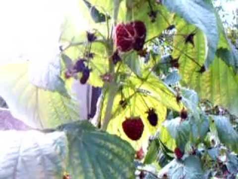 Uprawa malin jesiennych