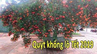 Quýt khổng lồ nhất Việt Nam ở Nghệ An tết Nguyên đán Kỷ Hợi hơn 3 tạ quả giá 150 triệu