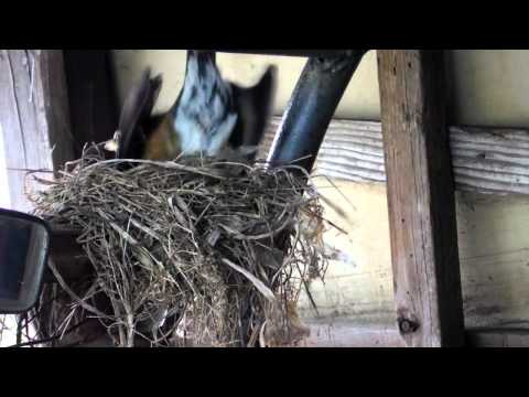 American Robin Bird Nest Build video