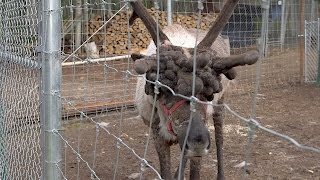 Reindeer With Severe Antler 'Warts' Needs Help