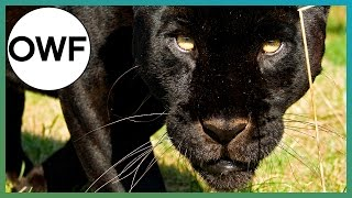 Do Black Jaguars' Have spots? - One Wild Fact - Earth Unplugged
