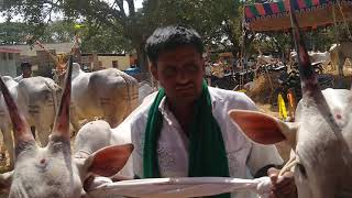 Two Teeth Hallikar ox pair of Farmer Rajesh from Baby, Basaralau Hobli, Mandaya in Basavanagudi Fair
