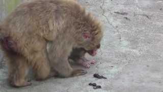 Baby monkey 1day old on 7/20/2015 at Kushiro zoo No.4