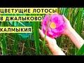 Смотрим на Цветущие Лотосы в Джалыково (Калмыкия) с Детьми на Машине. Цветущий Лотос в Калмыкии