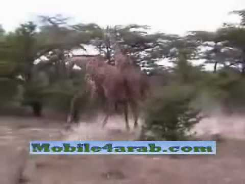 هوشه زرافات Giraffes Fight