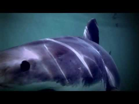 Megalodon the Biggest Shark Ever | Storyteller Media