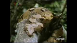 Video clip ĐỘNG VẬT SĂN MỒI - LOÀI RẮN