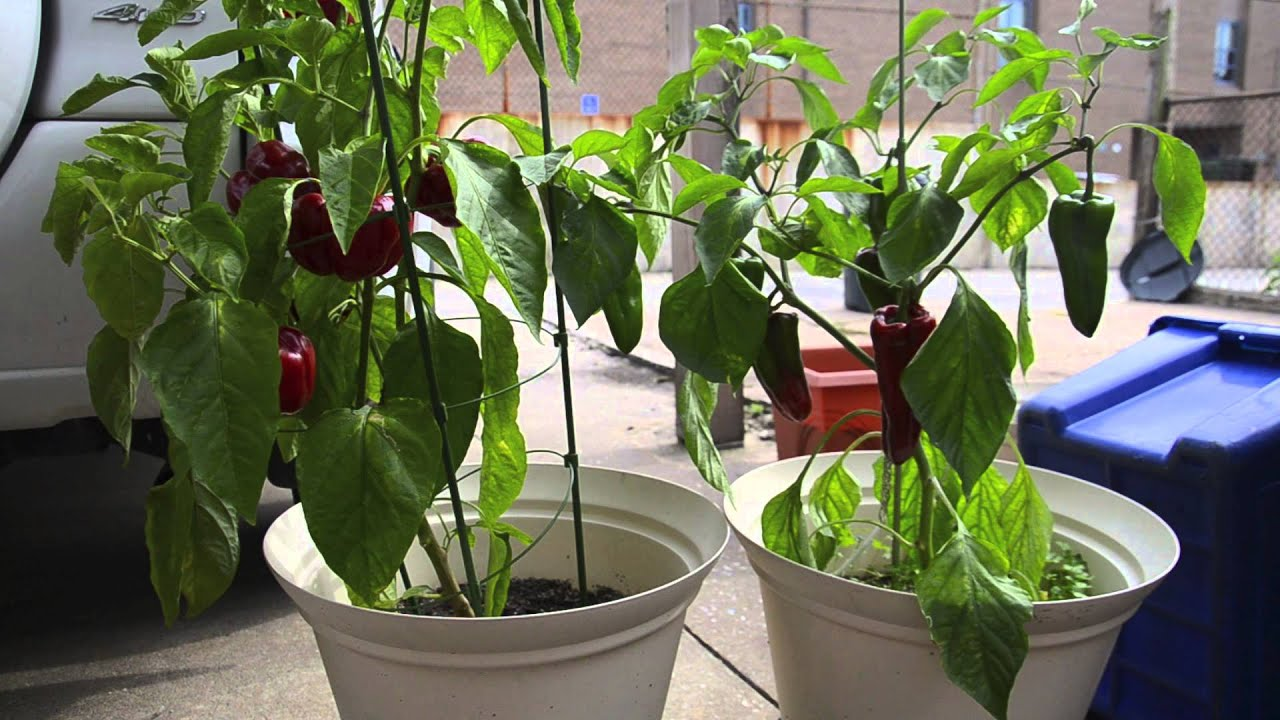Growing Peppers In Containers Harvest Youtube