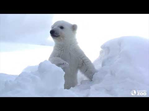 Toronto Zoo Polar Bear Cub Explores his new Outdoor Habitat
