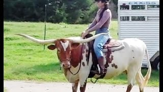 Hoof Trimming Texas Longhorn Cow Premier Preference