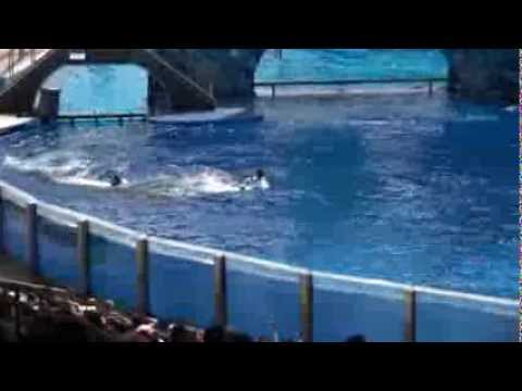 Killer whale kills trainer at Orlando's Sea World:-( -Dawn Brancheau Rip- .mpg