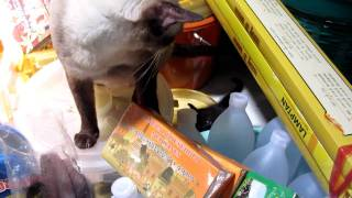 Incredibly Cutest kitten ever plays with its mum in a Buddhist temple - Hat Yai Thailand - 720p HD