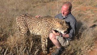 Butt Scratch Reflex Responses From BIG & small Cats   Lions Leopards Cheetahs Servals Caracals