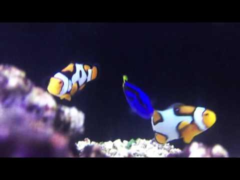 Species Spotlight Season 2 - Finding the Regal Blue Tang - Episode 34