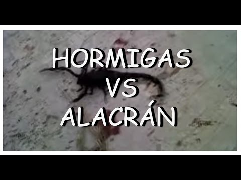 HORMIGAS VS ALACRAN.avi