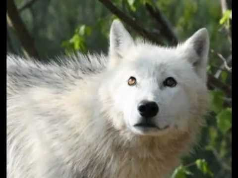 White Wolf Dog With Blue Eyes