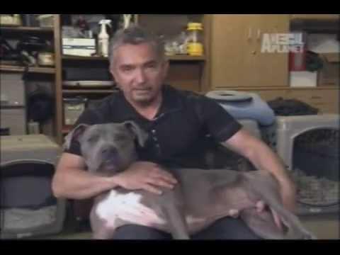Cesar Millan - O Encantador de Cães - O Cão Perfeito - T5 Ep23