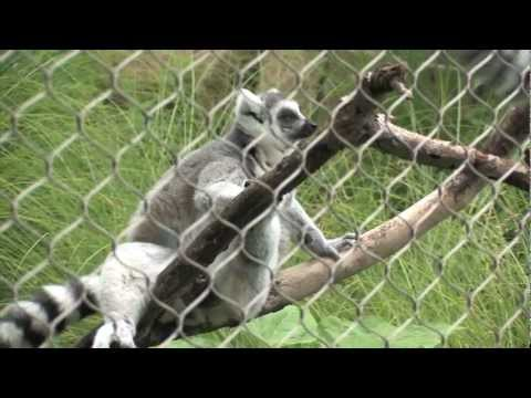 Homework Hotline Zoophily: Ring Tailed Lemur video