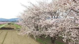 桑折町伊達崎の「桃畑桜」をドローンで撮影