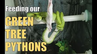 Feed My Pets Friday- Green Tree Pythons Eating!
