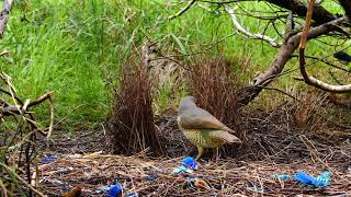 Bowerbird, Satin, a juvenile arrives, steals some fibers from the bow area and is kicked away