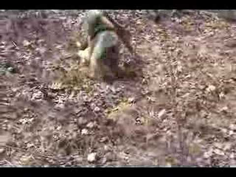 Australian Shepard vs. Chihuahua/Jack russell Mix Video