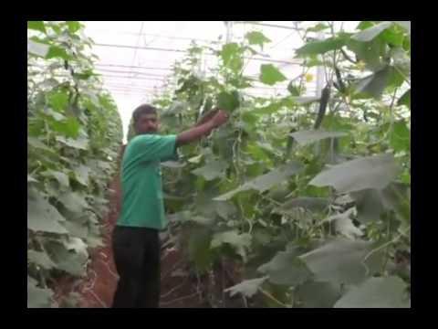 A farmer describes his experience on cucumber farming in polyhouse