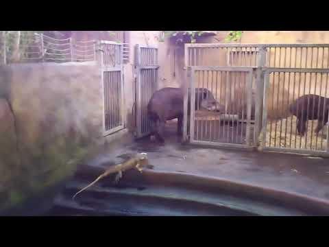 Iguana Slaps Tapir in the Face