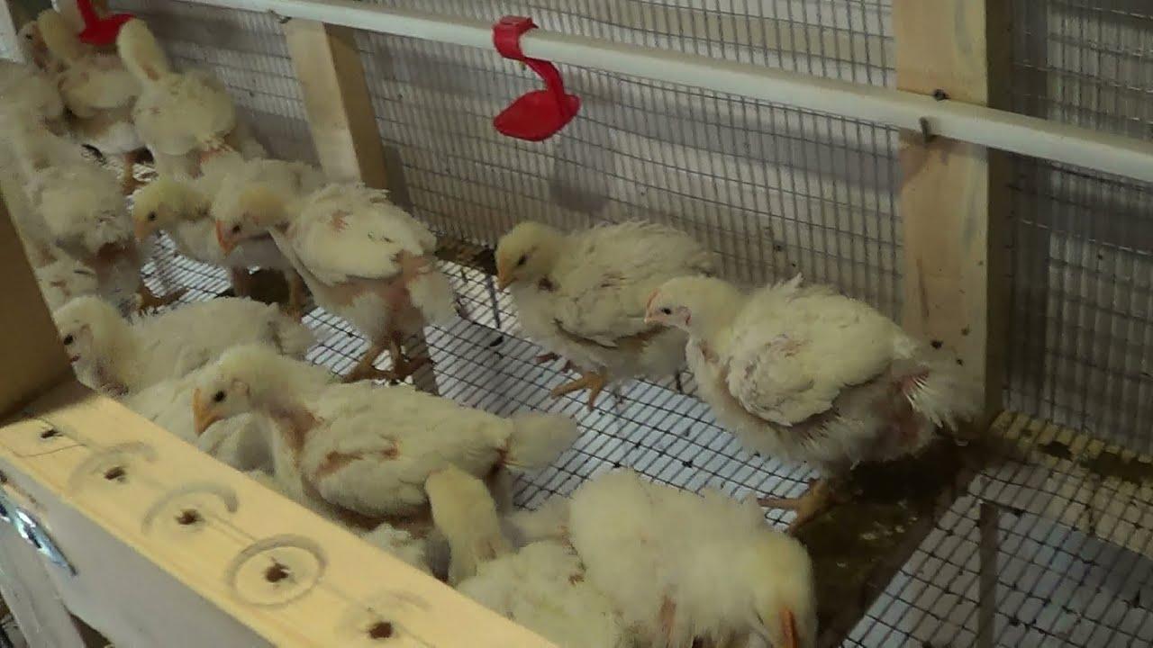 Выращивание цыплят бройлеров домашних условиях для начинающих
