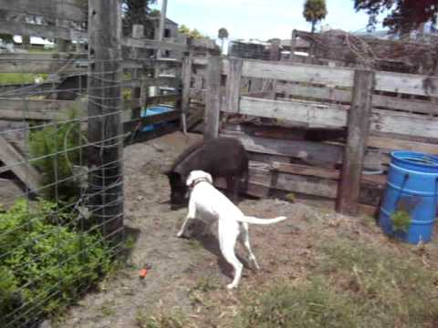 chobee hog dogs 1 Video