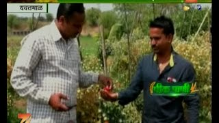 Peekpani | Yavatmal Farmers Getting Fooled In The Name Of American Kesar