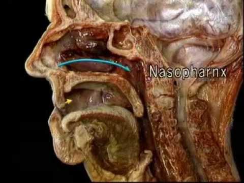 0 - Пазухи носа: будова і функції