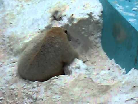 2010.12.28 おびひろ動物園 キロル 雪洞にはまっています