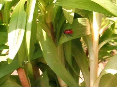 scarlet lily beetle - Lilioceris lilii
