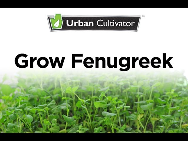 How To Grow Fenugreek Indoors