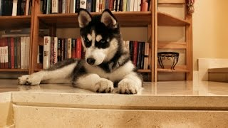 Husky Puppy VS Stairs : First Lesson.