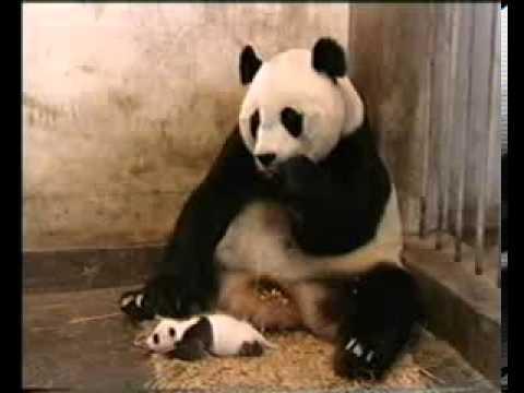 Маленький чихающий детёныш панды