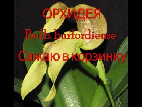 Сажаю новую орхидею Bulb  burfordiense в корзинку.