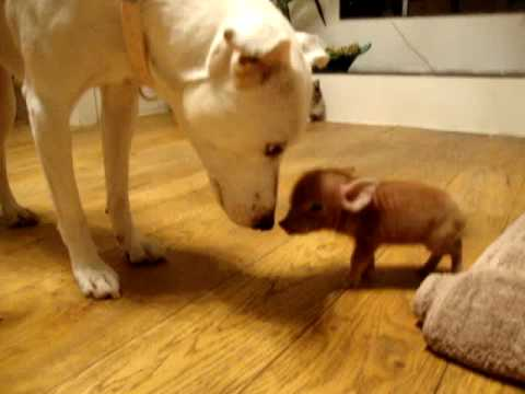 THE SMALLEST PET PIG IN THE WORLD!!!!!!??????