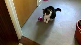 Fat cat pushing food ball around to get food