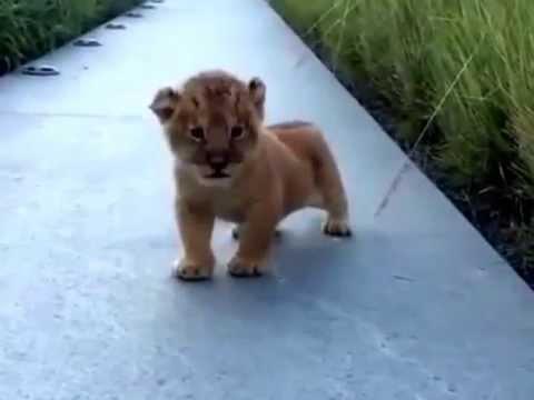 What a Lion cub's roar sounds like